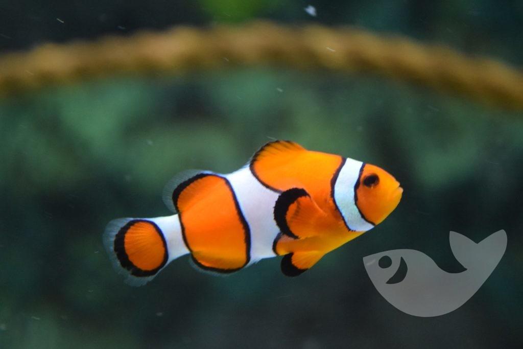 Clownfisch im Palma Aquarium auf Mallorca