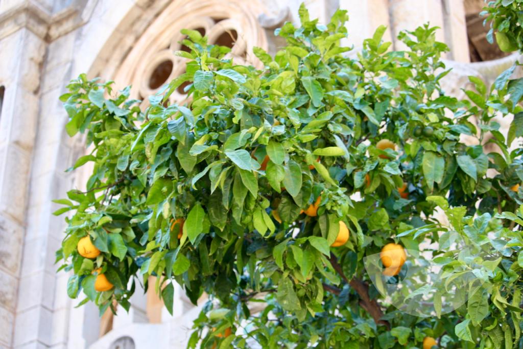 Orangenbaum vor der Kirche von Sóller