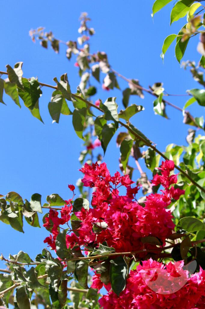 Blühender roter Bougainvillea Baum