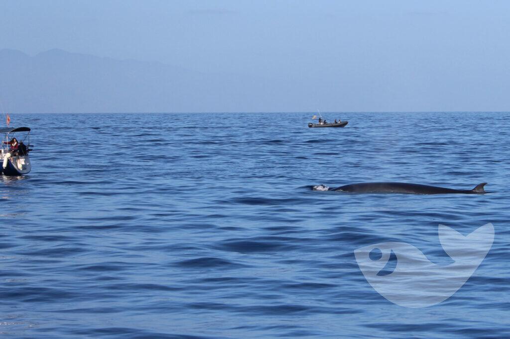 Brydewale beobachten vor der Küste Teneriffas